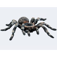 Bully white knee bird spider 10cm